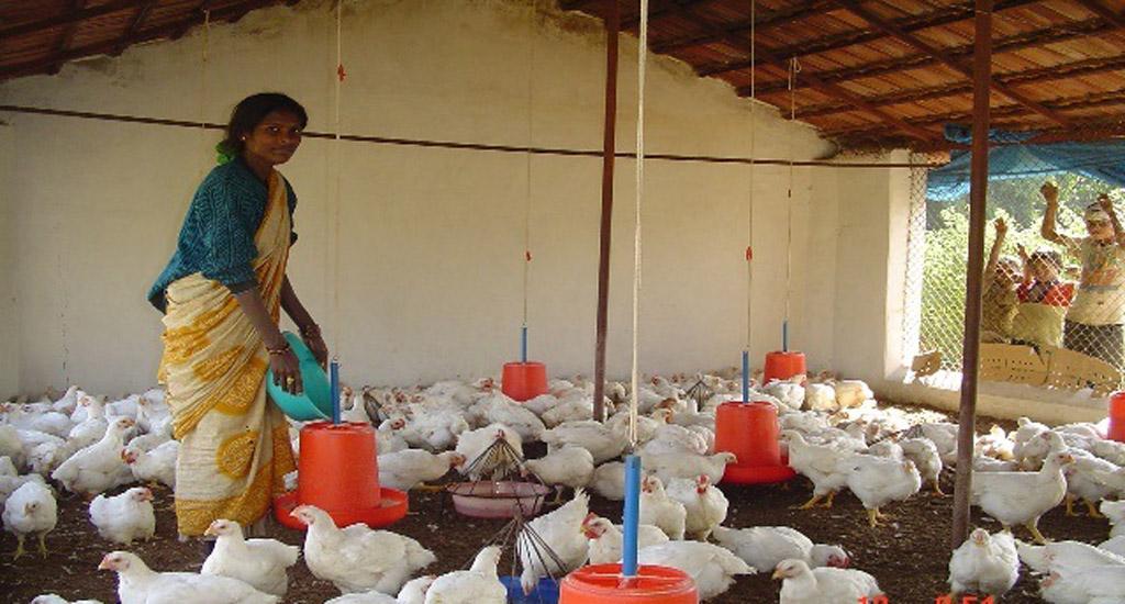 कोरोना वायरस से जुड़ी भ्रांतियों के कारण, हजारों छोटे महिला मुर्गीपालक किसानों को व्यवसाय में हुआ घाटा