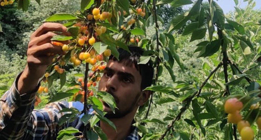 कश्मीर के चेरी  किसानों को महामारी के प्रभाव का ..