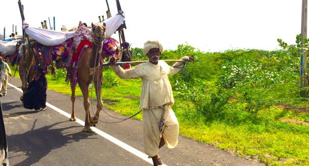 Camel herders of Kachchh fall into decline as commons shrink
