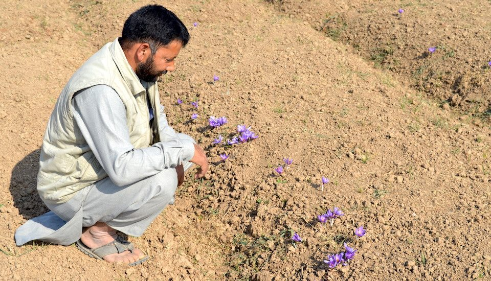 Saffron farmers are worried about declining production in recent years (Photo by Athar Parvaiz)