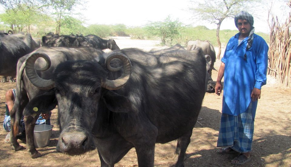 A Maldhari with his Banni buffalos. (Photo by Athar Parvaiz)