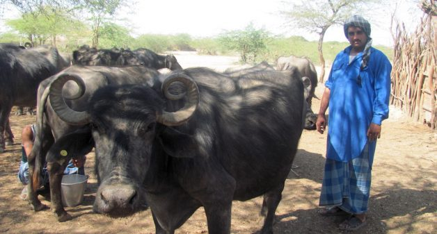 A Maldhari with his Banni buffalos. (Photo by Athar Parvaiz)
