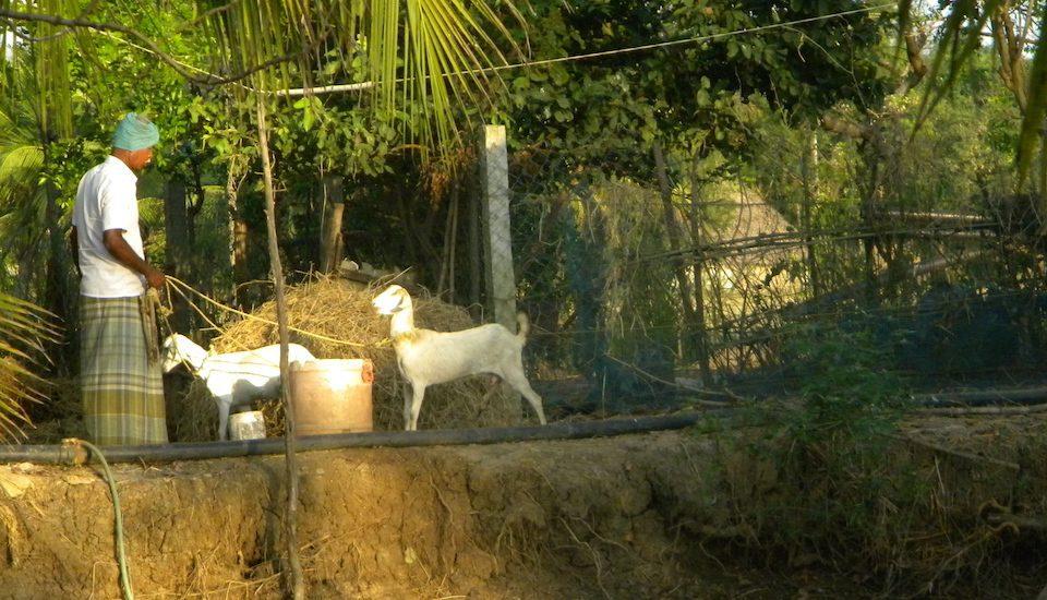 Locally bred goats fetch a regular income. (Photo by Sharada Balasubramanian)