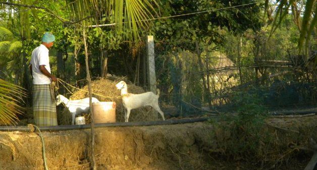 Locally bred goats fetch a regular income. (Photo by Sharada Balasubramanian)