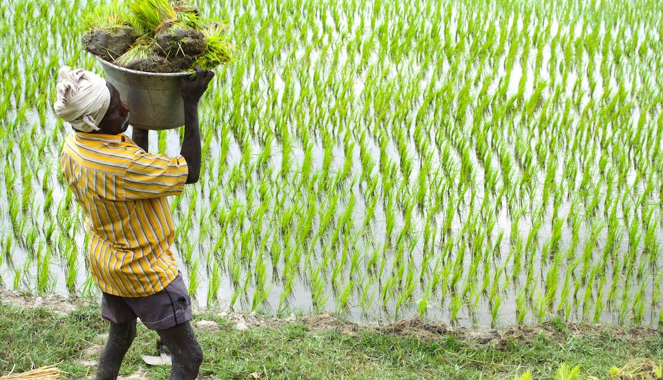 A field laborer carrying paddy transplants in Tamil Nadu. (Photo by ADM Institute for the Prevention of Postharvest Loss)