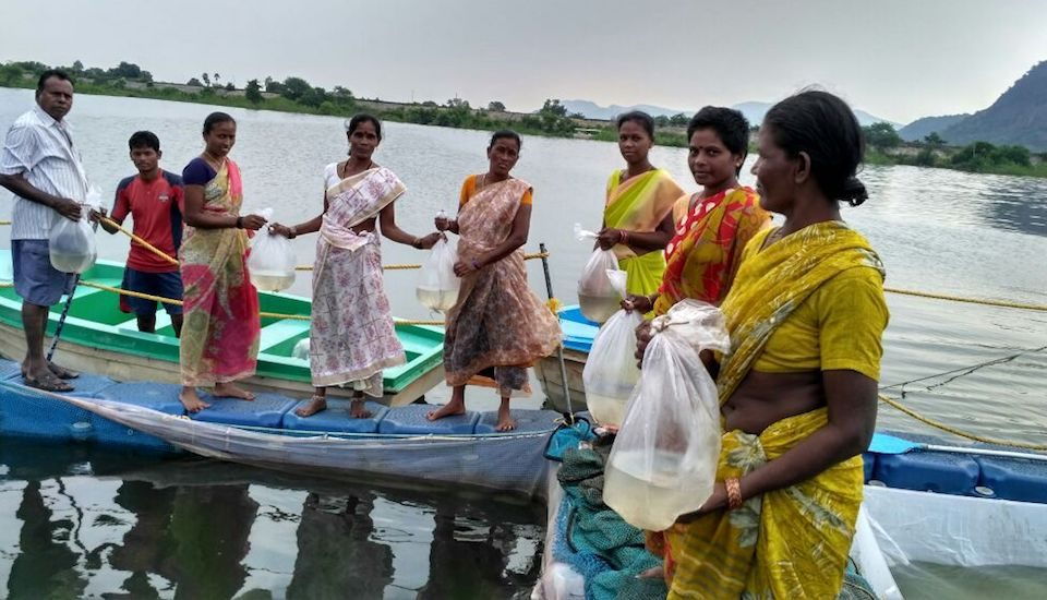 Rearing fish spawn in cages in Andhra Pradesh.