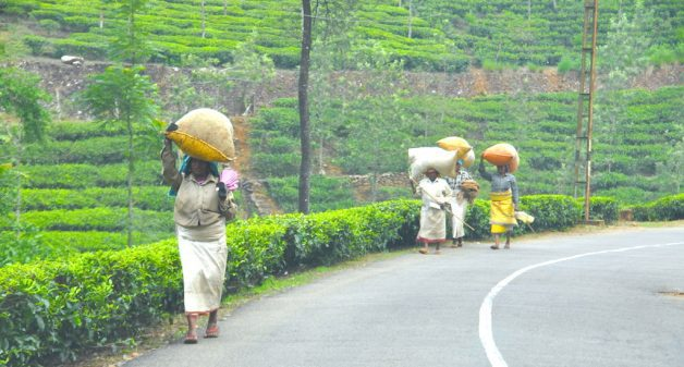Women carrying bags of freshly harvested tea leaves in Munnar, Kerala. (Photo by Shankar S.)