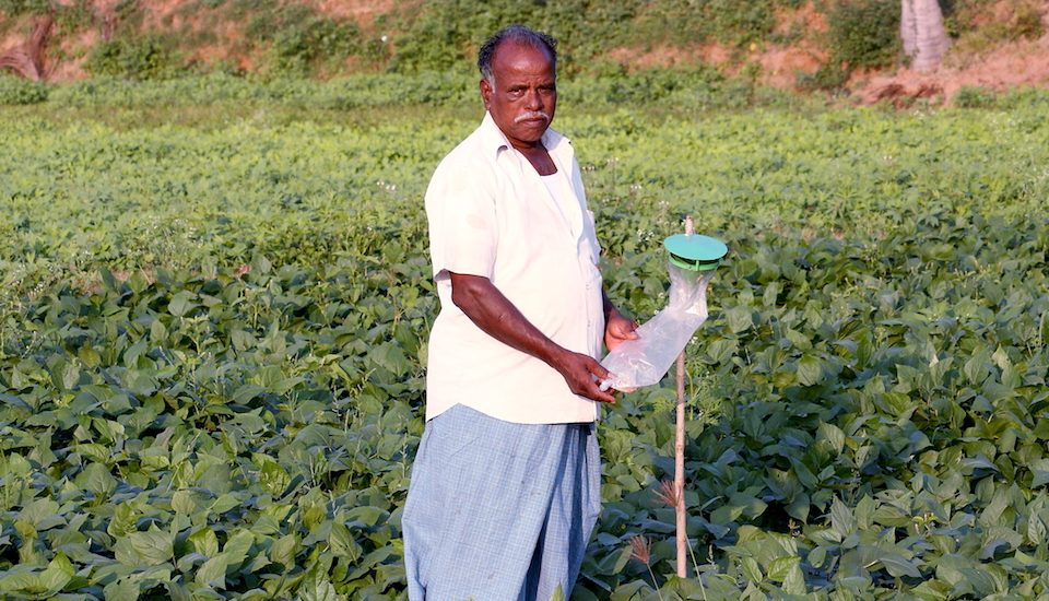 Murthy, who has adopted integrated pest management, has pheromone traps in his field of black gram. (Photo by R. Samuel)