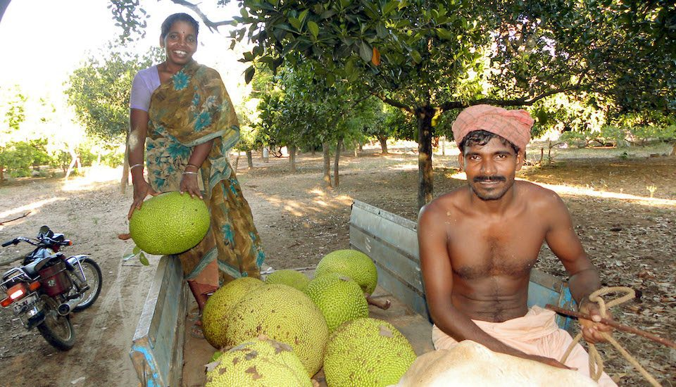 A farmer couple on their way to the market with their jackfruit harvest. (Photo by Sri Padre / Adhike Patrike)