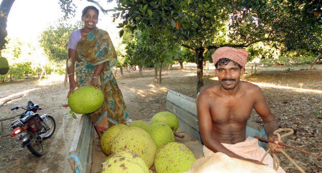 Jackfruit enjoys a second spring in Kerala