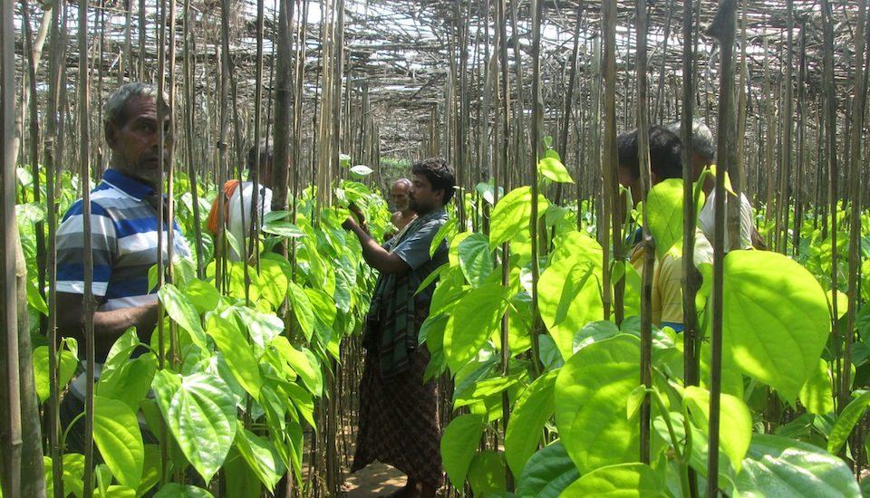 A betel leaf vineyard in Jagatsinghpur district of Odisha. (Photo by Basudev Mahapatra)