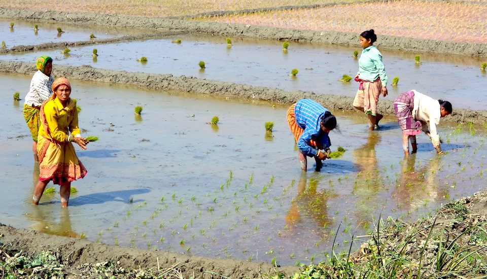Organic rice is being transplanted in Uttar Dinajpur district of West Bengal. (Photo by Dhruba Dasgupta)