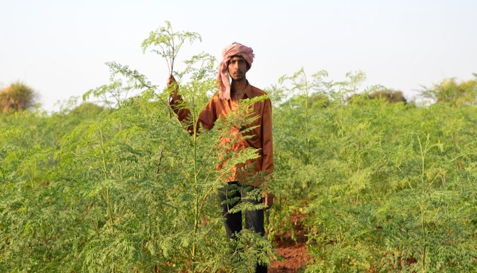 A moringa crop is ready for harvest at a farm near Rajkot town. (Photo by Hiren Kumar Bose)