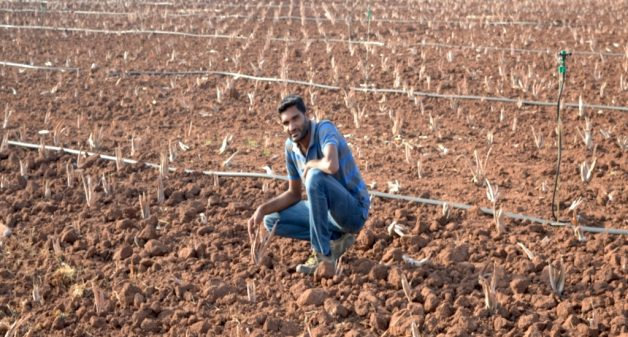 Rows of aloe vera fed through drip irrigation. (Photo by Hiren Kumar Bose)