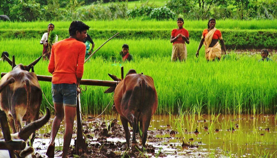 The use of bullocks for farming is decreasing in India. (Photo by Mallika Viegas)