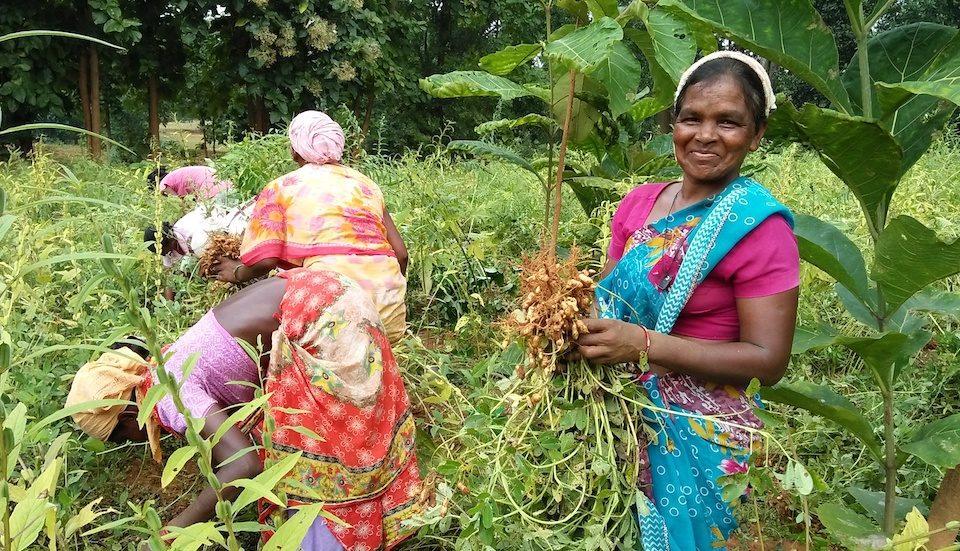 Farmers of Nalapad harvest groundnut from their multi-crop field. (Photo by Basudev Mahapatra)