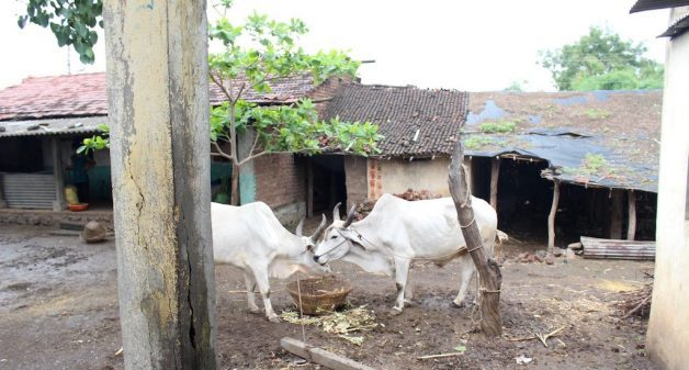 India needs more fodder to prevent cattle starvation