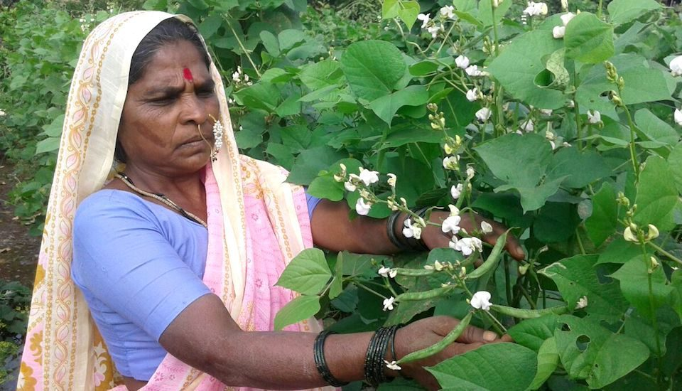 Rahibai in her farm of landrace hyacinth bean that she has helped conserve among other traditional crop varieties. (Photo by BAIF)