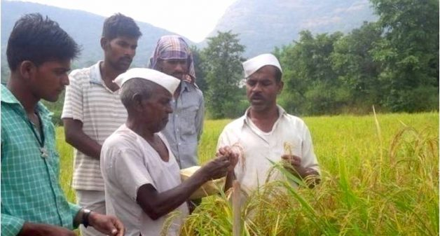 Farmers are involved in participatory selection of rice. (Photo by Hiren Kumar Bose)
