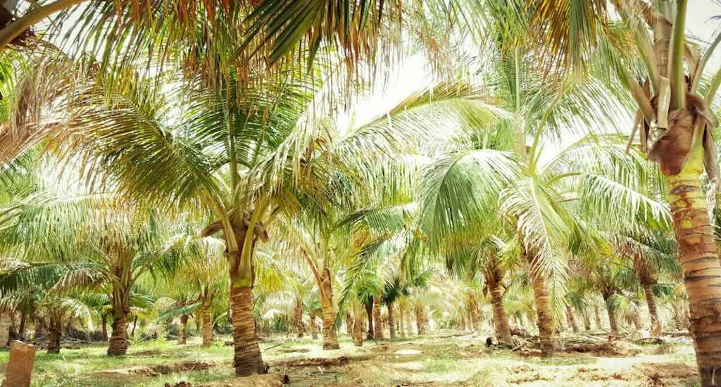 Farmers grow coconuts in deserts to improve livelihoods