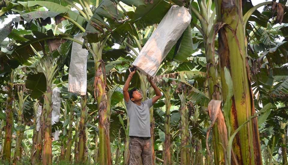 Debabrat Rabha in his banana plantation in Goalpara district. (Photo by Abdul Gani)