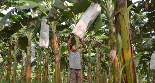 Debabrat Rabha in his banana plantation in Goalpara district. (Photo by Abdul Gani)