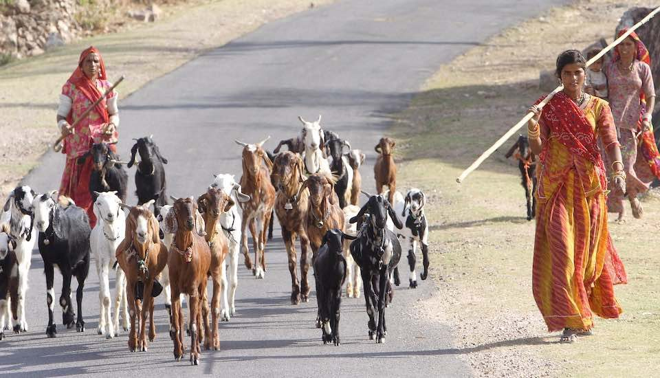 Goat herds in Rajasthan. (Photo by AusAID)