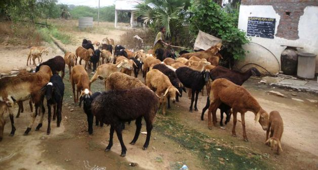 Livestock have regained their importance due to organic farming in Enabavi. (Photo by Chithra Ajith)