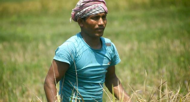 A migrant daily wage worker at a rice field in Perumbavoor village of Ernakulam district (Photo by Centre for Migration and Inclusive Development)