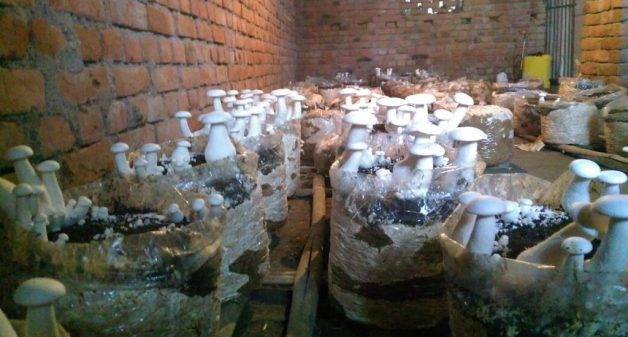 Mushrooms are being cultivated indoors in Anantpur. (Photo by Mohd Imran Khan)