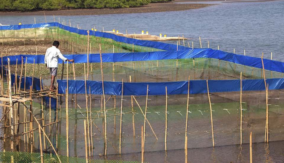 Mangrove crab farming has emerged as a lucrative option for Sindhudurg fishing communities. (Photo by Prashanth Vishwanathan/UNDP India)