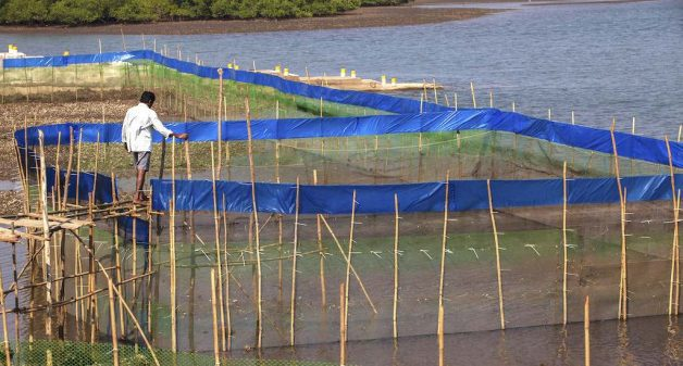 Fishers successfully farm crabs in estuaries, protect mangroves