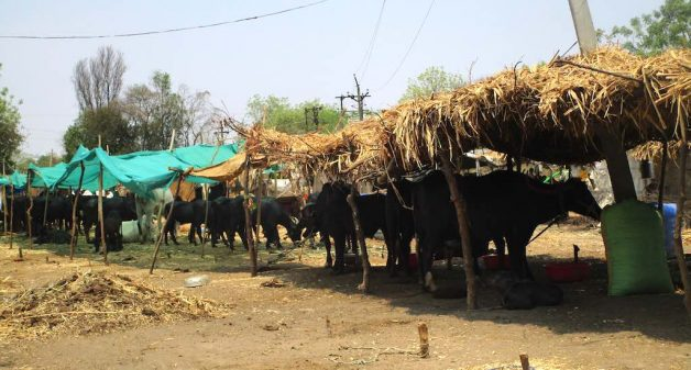 During acute drought, cattle camps are set up to provide fodder and water. (Photo by Nidhi Jamwal)