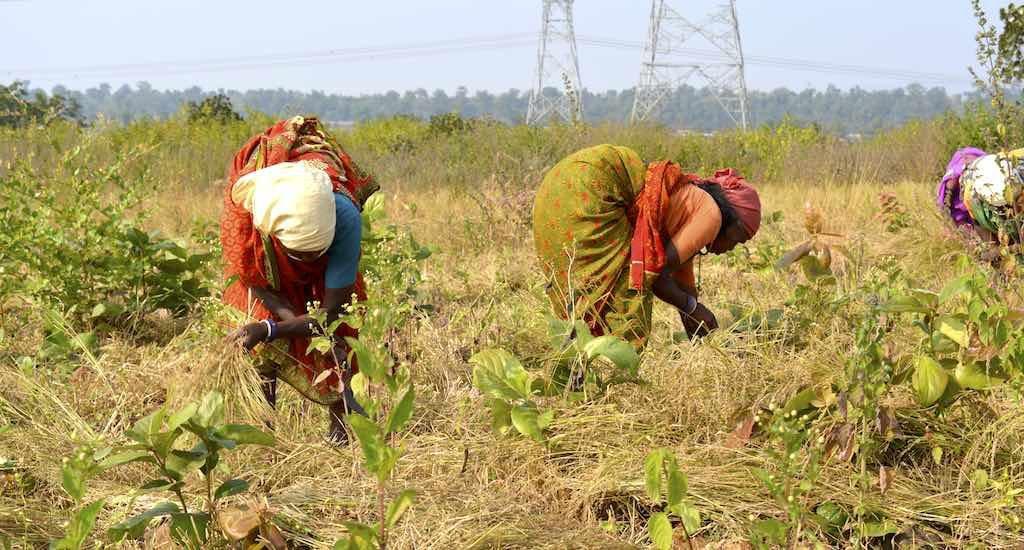 Madhya Pradesh farmers unite to fight lantana infestation