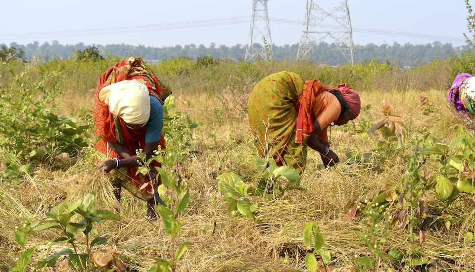 Women harvesting small millets from a farm that was earlier infested with lantana. (Photo by Manu Moudgil)