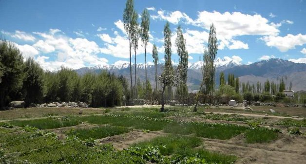 Growing fruits and vegetables is a challenge in Ladakh as the farming season is restricted to just four months. (Photo by Sharada Balasubramanian)