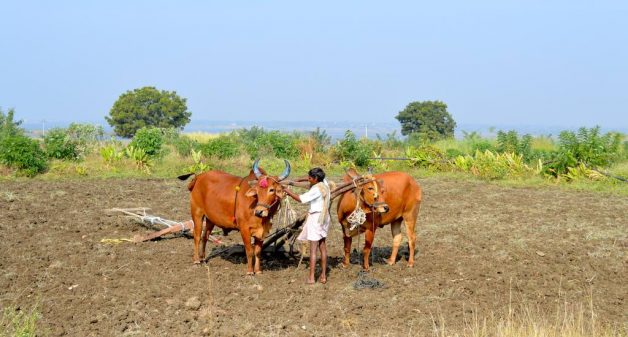 A farmer at Polam Farm is tying bulls to a yoke to plough a field. (Photo by Athar Parvaiz)