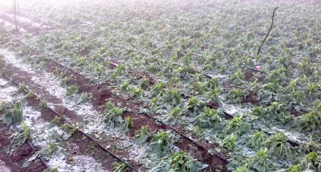 Cauliflower crop destroyed by the February 11-12 hailstorms in Khade village of Beed District. (Photo by Manoj Shembde)