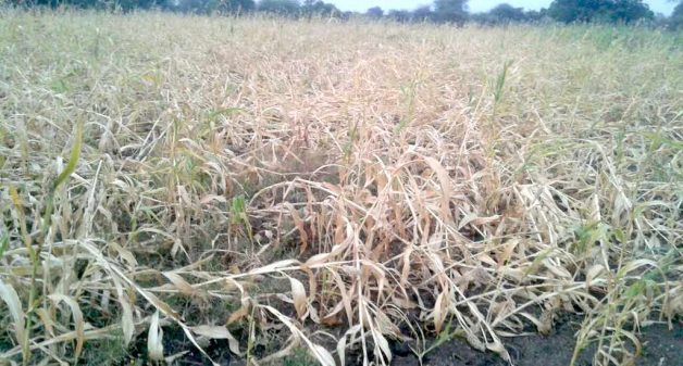 The sorghum crop in Beed district was completely destroyed due to the February hailstorms. (Photo by Manoj Shembde)