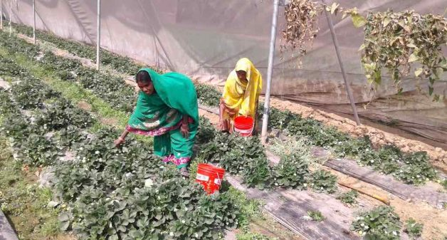 Famers tend to strawberry plants in a farm in Chilhaki Bigha village. (Photo by Mohd Imran Khan)