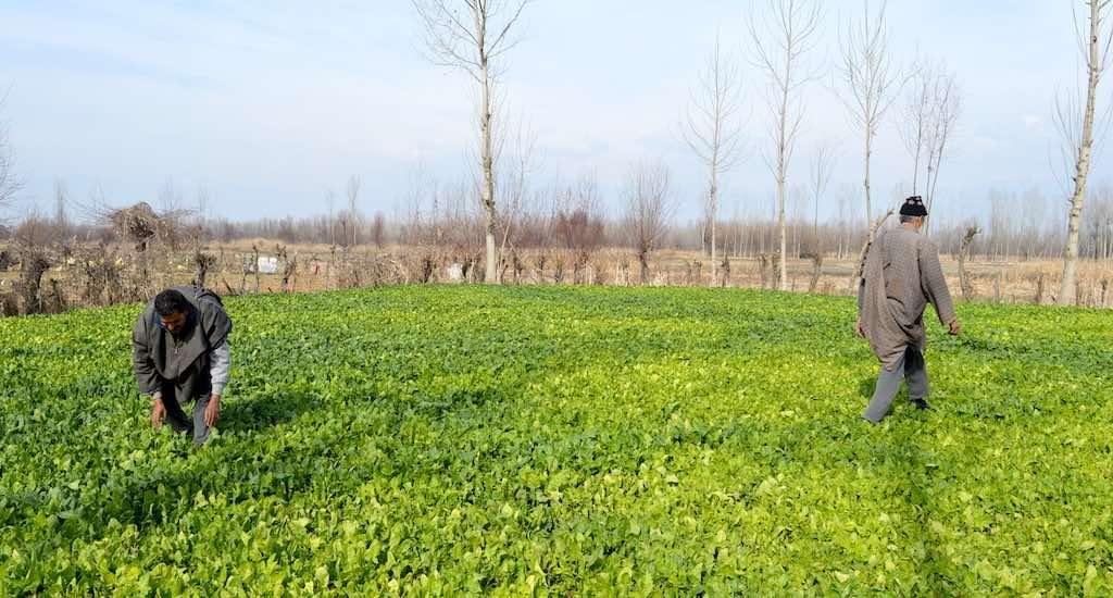 Kashmir's vegetable farmers reap rich dividends