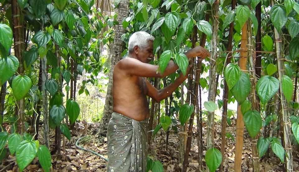 Betel leaf farmer Krishnan of Tirur continues to cultivate it in spite of falling exports. (Photo by K. Rajendran)