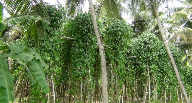 A farm in Ozhur village with vines of Tirur Lanka paan. Photo credit: K. Rajendran