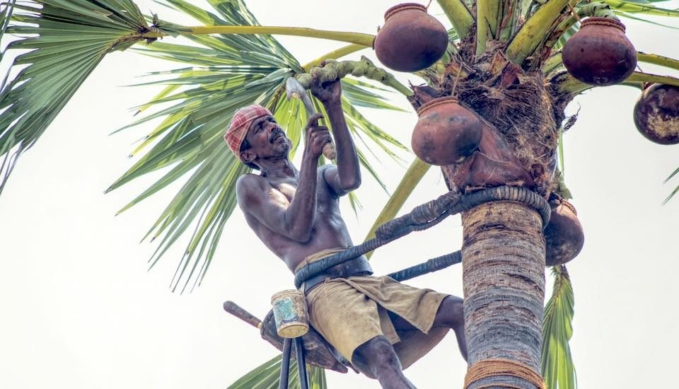 Palm climber Shanmugam slices the tip of the palm's inflorescence to tap palm nectar (Photo by Balasubramaniam N.)