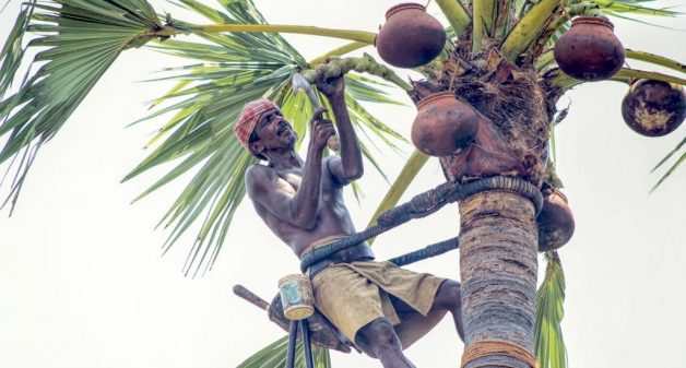 Future looks up for palmyra tree climbers of Tamil Nadu