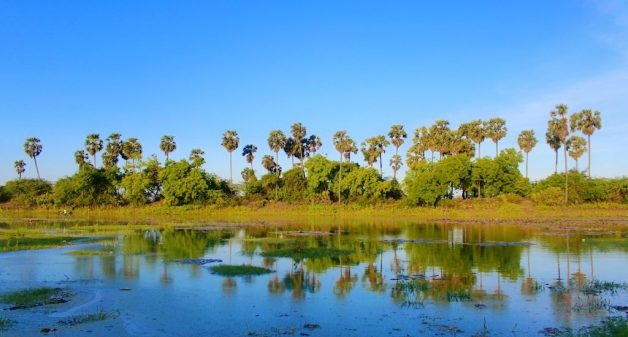 Palmyra trees that were a common sight in villages, seen around a pond (Photo by Balasubramaniam N.)