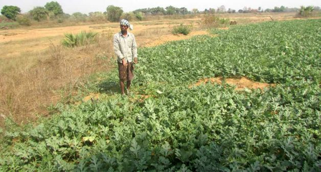 Cultivating watermelon has stemmed migration from the drought-prone western districts of Odisha. (Photo by Rakhi Ghosh)