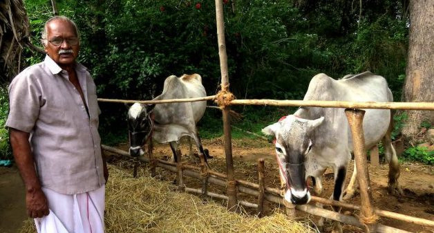 Native cattle breeds gain ground in Tamil Nadu