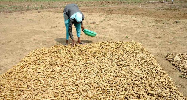 Traditionally shade-dried, some farmers dry the turmeric rhizomes under the sun (Photo by Hiren Kumar Bose)