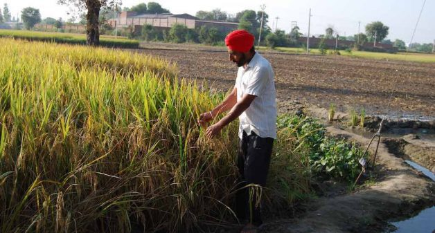 Satwinder Singh, a small farmer of Jhaneri village in Punjab, grows paddy as government procures it at a minimum support price (Photo by Prasanna Mohanty)
